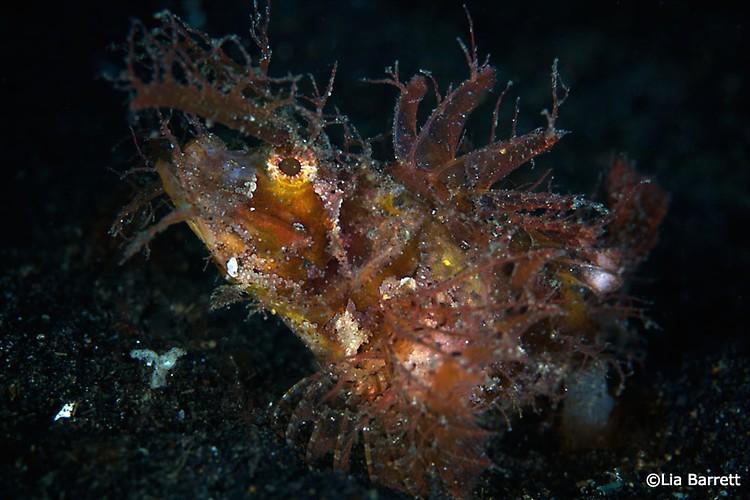 Ambon scorpionfish, Pteroidichthys amboinensis, Lembeh Strait Indonesia April 2014