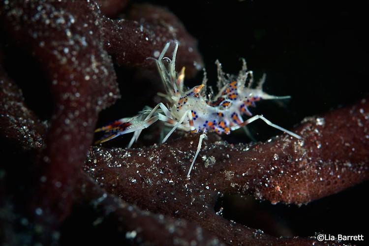 Tiger shrimp phyllognathia ceratopthalma, Lembeh Strait Indonesia April 2014