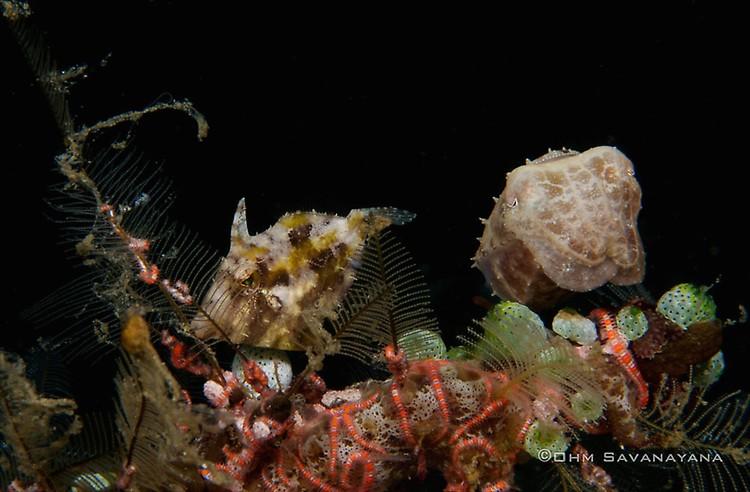 Strapweed filefish Pseudomonacanthus macrurus, Broadclub Cuttlefish Sepia latimanus Lembeh Strait Indonesia June 2014