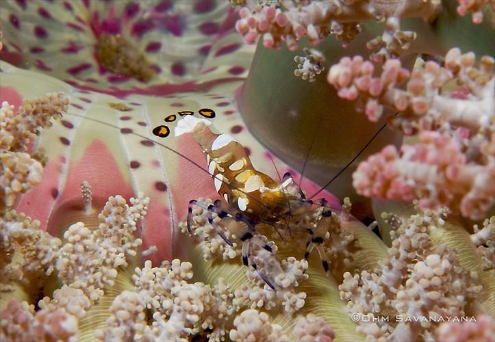 Peacock-tailed anemone shrimp, Periclimenes brevicarpalis, Lembeh Strait Indonesia June 2014