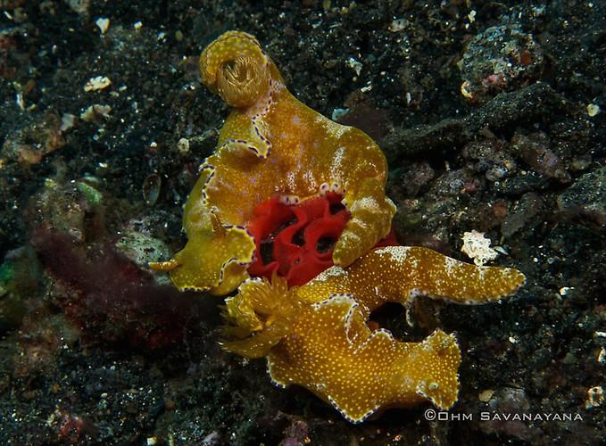 Ceratosoma tenue, Lembeh Strait Indonesia June 2014