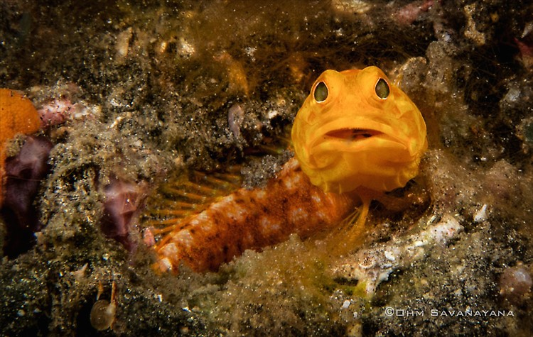 Solor Jawfish, Opistoganthus solorensis, Lembeh Strait Indonesia June 2014