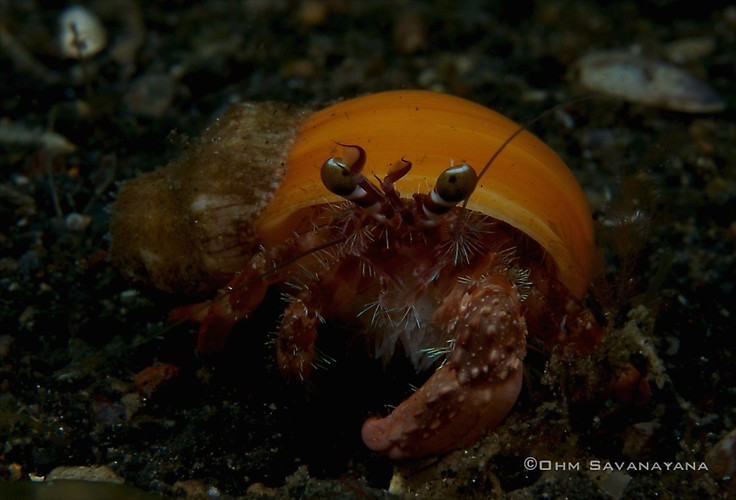 Anemone hermit crab, Dardanus pedunculatus, Lembeh Strait Indonesia June 2014