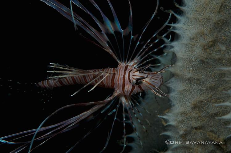 Common Lionfish, Pterois volitans, Lembeh Strait Indonesia June 2014