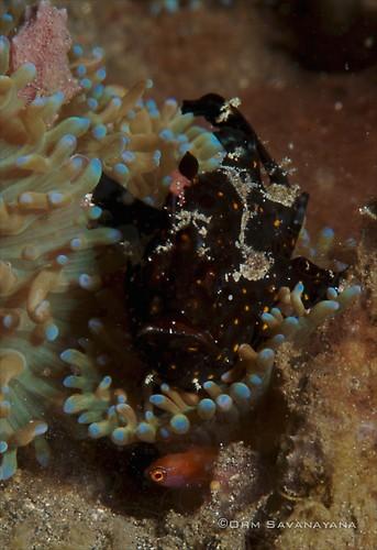 Juvenile Painted frogfish, Antennarius pictus, Lembeh Strait Indonesia June 2014