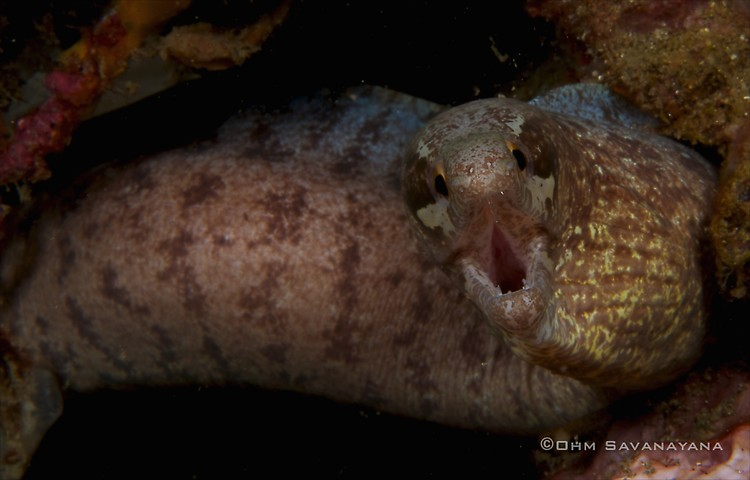Barred-fin moray Gymnothorax zonipectis, Lembeh Strait Indonesia 2014