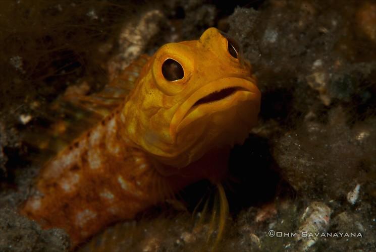 Solor Jawfish, Opistognathus solorensis, Lembeh Strait Indonesia June 2014
