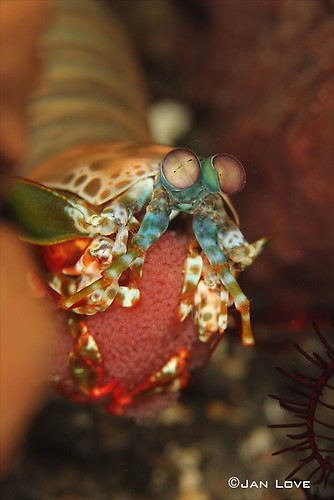 Mantis-Peacock-Shrimp---JL-