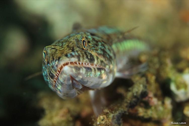Lizard-Fish-JL