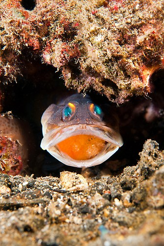 Male Yellowbarred Jawfish mouthbrooding eggs  Shot in Indonesia