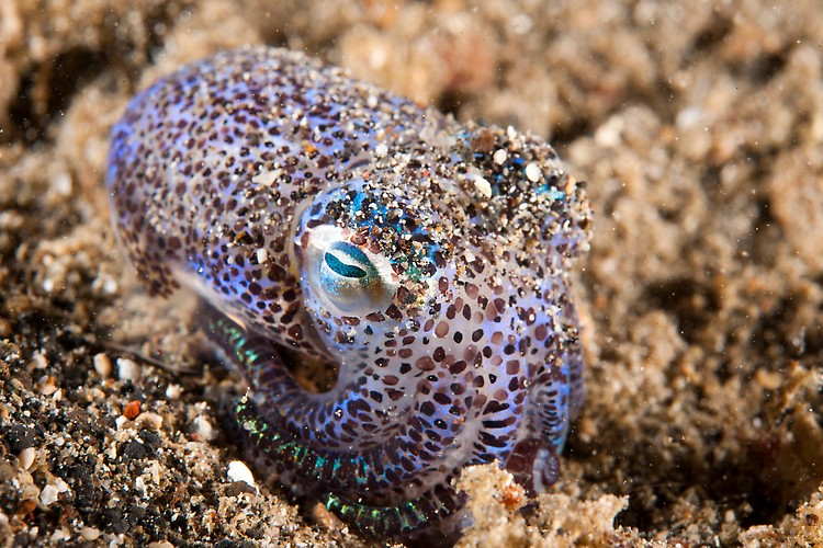 Berry's Bobtail Squid  Shot in Indonesia