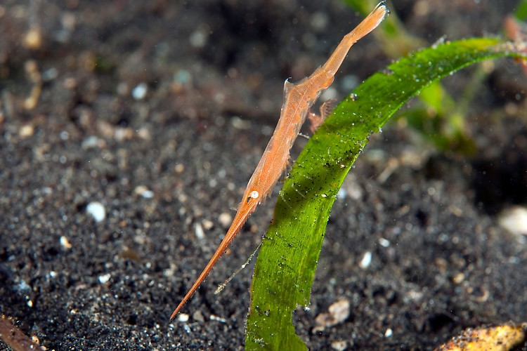 Saw Blade Shrimp on Seagrass  Shot in Indonesia