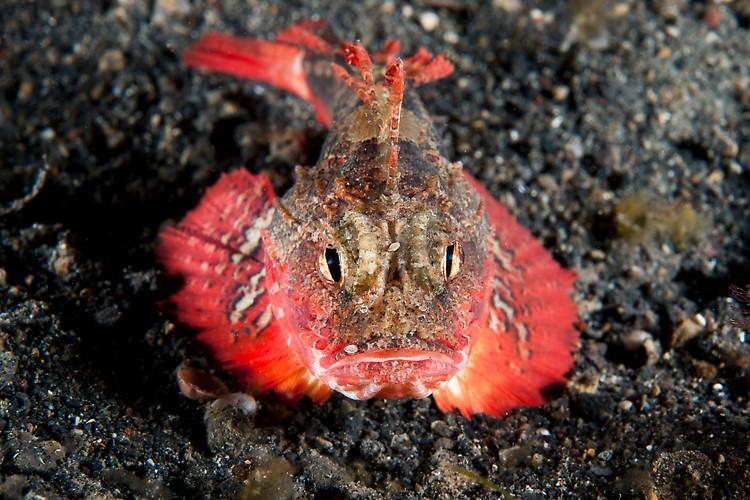 Unidentified Scorpionfish  Shot in Indonesia