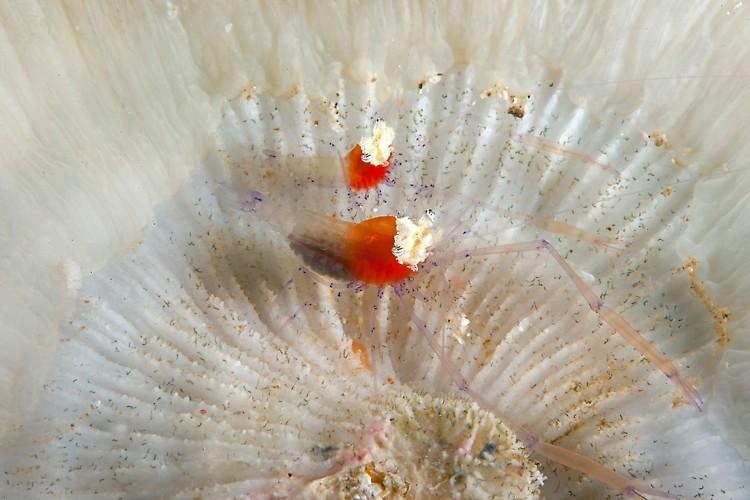 Commensal Shrimp Pair  Shot in Indonesia