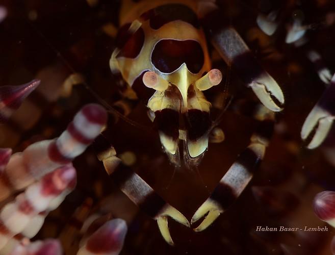 Coleman shrimp, Periclimenes colemani, Lembeh Strait Indonesia, January 2014