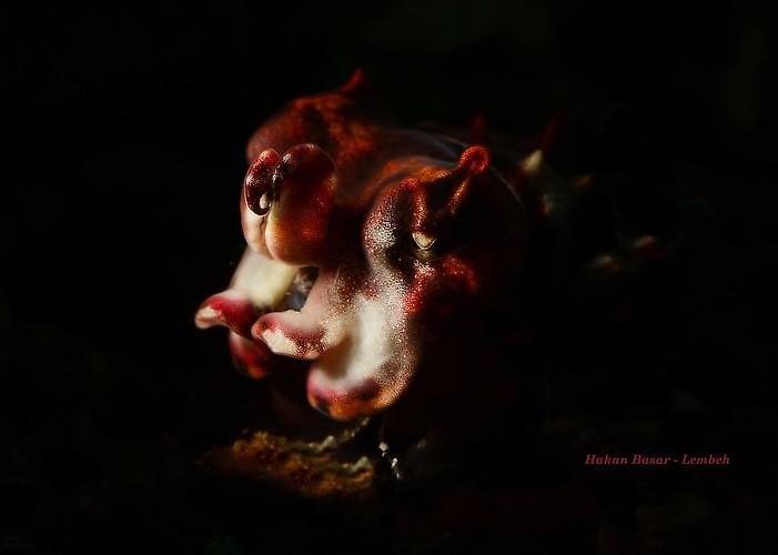 Flamboyant cuttlefish, Metasepia pfefferi, Lembeh Strait Indonesia January 2014