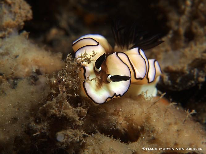Glossodoris-marginata