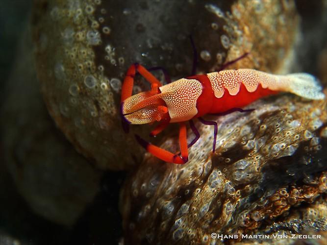 Emperor-Shrimp-