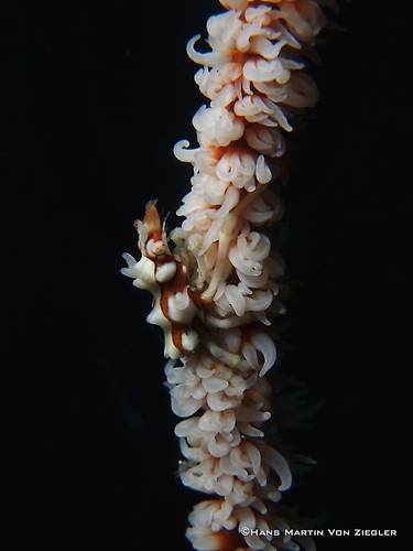 Xyno-crab
