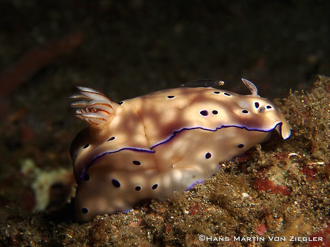 Risbecia-with-goby-