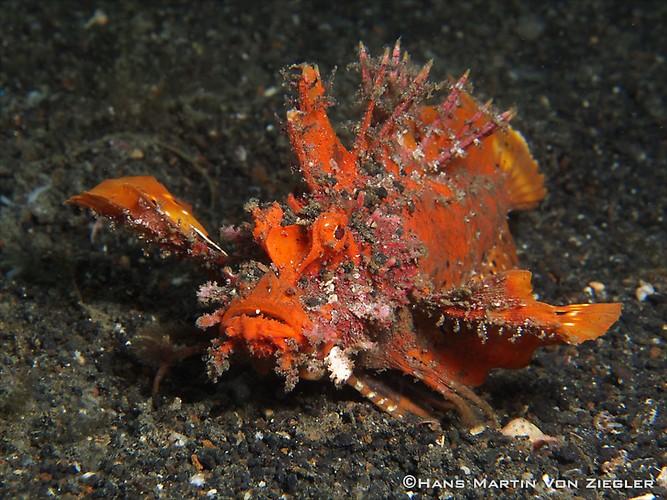Devil-Scropionfish