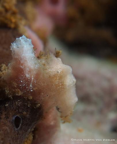 Paron-Shrimp