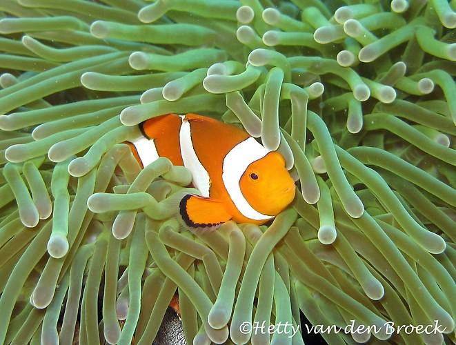 Clown Fish, Amphiprion ocellaris, Lembeh Strait Indonesia 2014