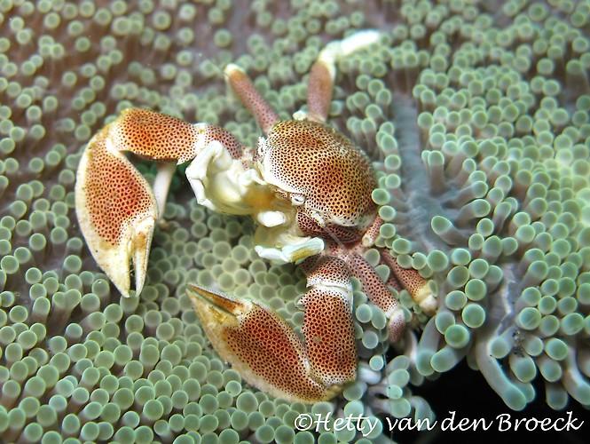 Porcealin Crab, Petrolisthes galathinus, Lembeh Strait Indonesia 2014