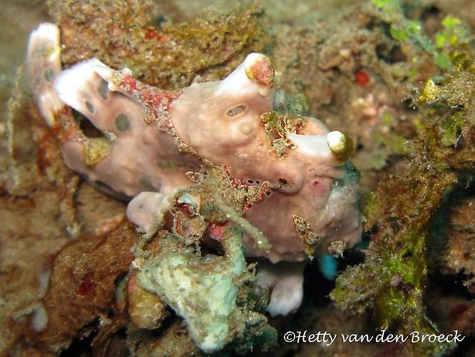 Warty Frogfish,  Antennarius maculatus, Lembeh Strait Indonesia 2014