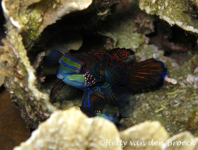 Mandarin Fish, Synchiropus splendidus, Lembeh Strait Indonesia 2014