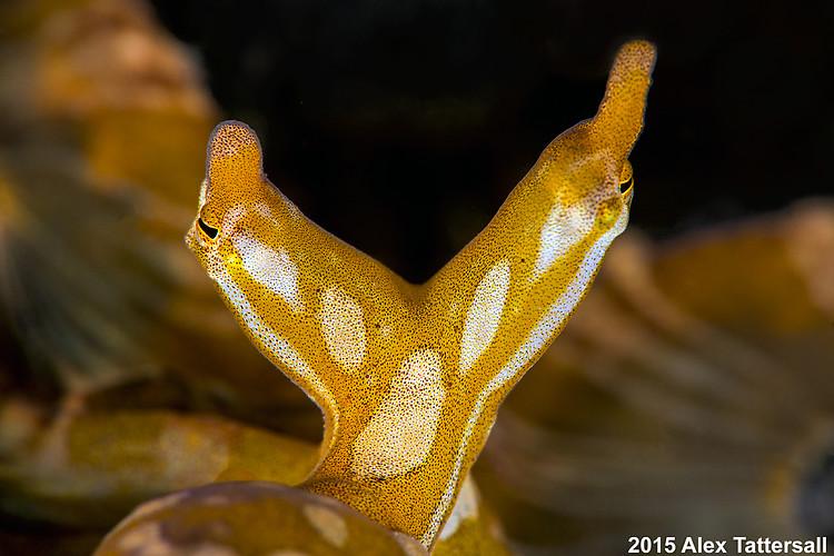 Wunderpus Octopus, Wunderpus photogenicus, Lembeh Strait Indonesia September 2015