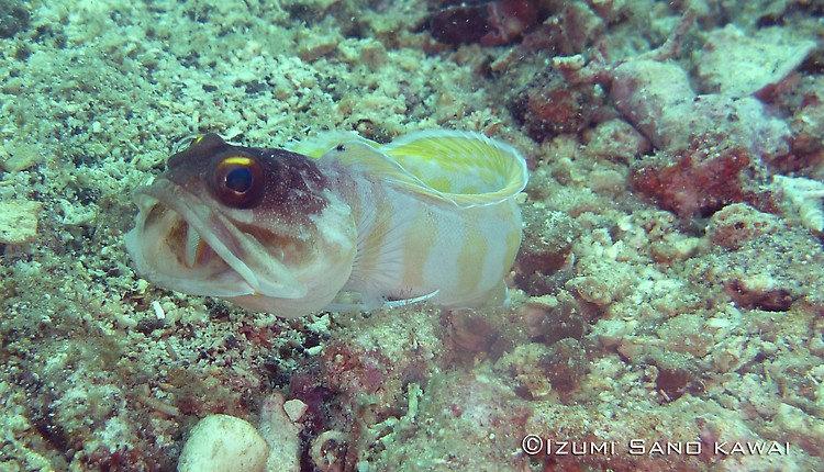 Yellow Barred Jawfish, Opistognathus sp Lembeh Strait Indonesia April 2013