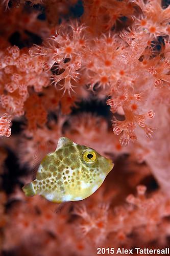 Minute filefish, Rudarius minutus, Lembeh Strait Indonesia, September 2015