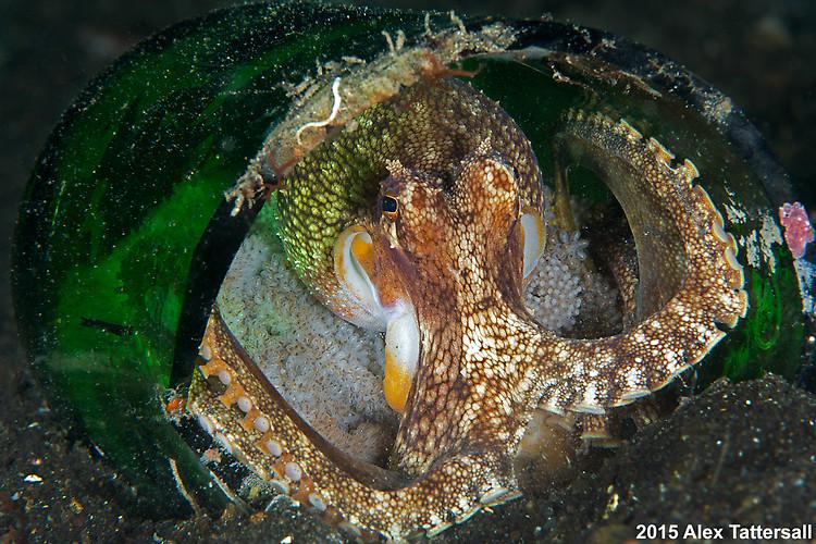 Coconut Octopus wiith eggs, Amphioctopus marginatus, Lembeh Strait Indonesia, September 2015