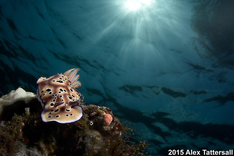 Hypselodoris tryoni, Lembeh Strait Indonesia, September 2015