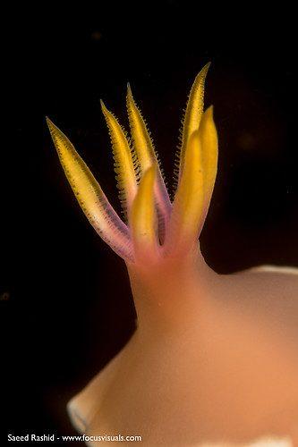 Hypselodoris sp.9, Lembeh Strait Indonesia October 2015