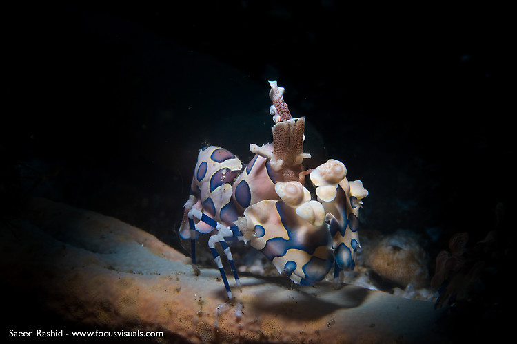 Harlequin-Shrimp, Hymenocera elegans, Lembeh Strait Indonesia 2014